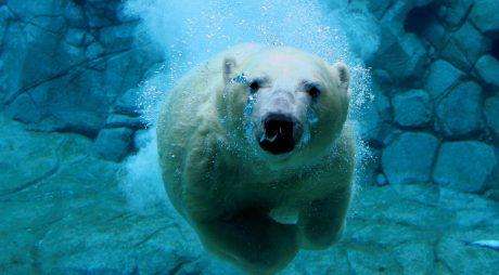 swim-polar-bears