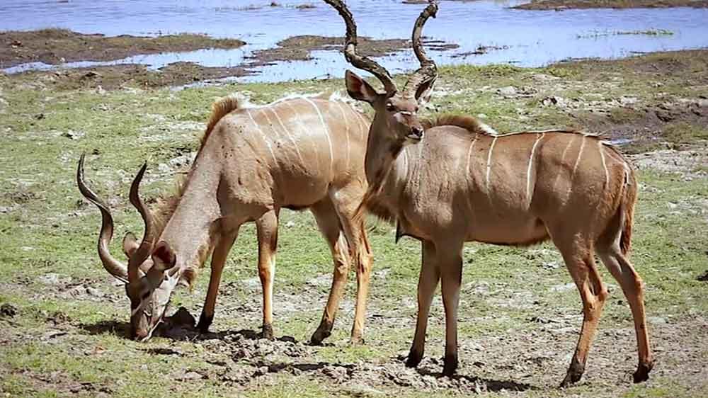 05-หนัง-Kudu-Leather-Antelop-APR20