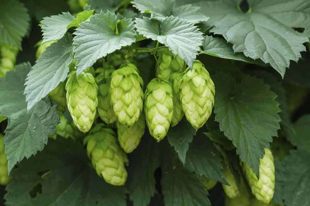 This image has an empty alt attribute; its file name is rsz_hops-cones.jpg